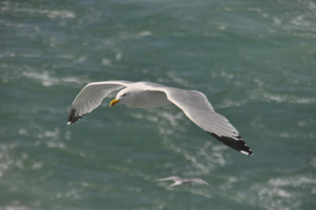 Londres 2012 - 2012 pigeons voyageurs pour le Pas-de-Calais