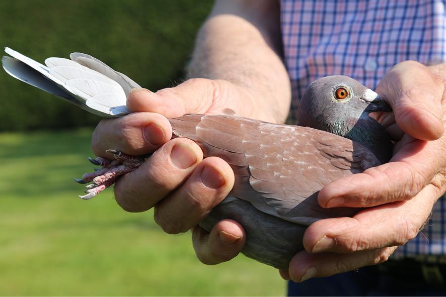 Daniel popieul pigeon