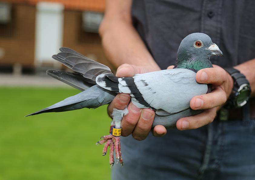 Lydie eric duriez pigeon