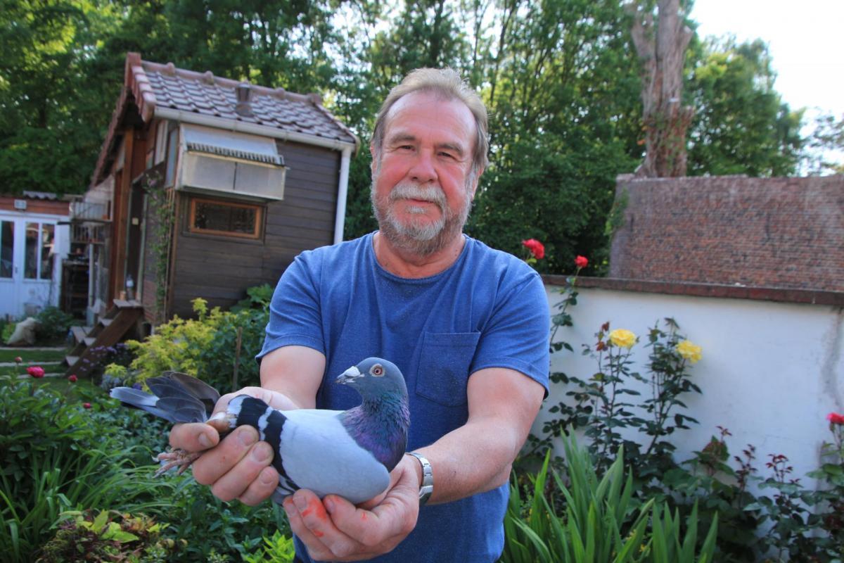 Pigeons arques roger smis 1er juin st junien v