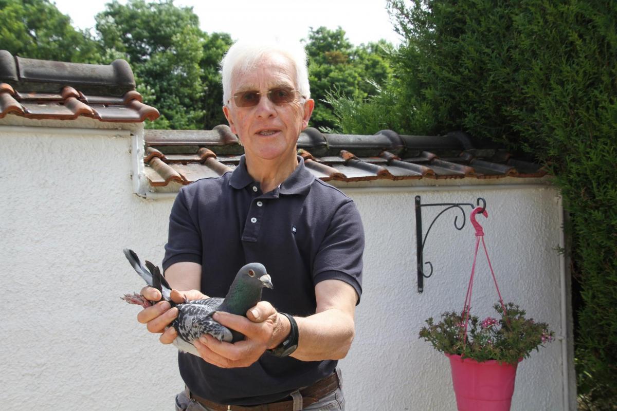 Pigeons st junien 1 an roger gallet 2